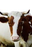 Śmieszna krowa Zdjęcia Royalty Free