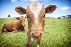 Śmieszna krowa Fotografia Royalty Free