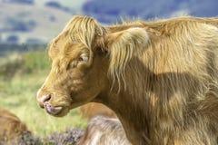 Śmieszna krowa wtyka za swój jęzorze zdjęcie stock
