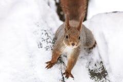 Śmieszna mała czerwonej wiewiórki pozycja na drzewnym bagażniku zakrywającym z śniegiem fotografia royalty free