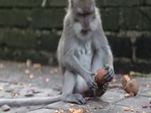 Śmieszna małpa w lesie - Ubud, Bali zbiory wideo