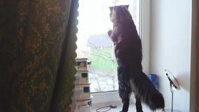 Śmieszna Maine coon kota pozycja i pukanie w okno w zwolnionym tempie patrzę przez okno 1920x1080 zbiory wideo