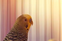 Śmieszna nierozłączka Budgie papuzi obsiadanie w birdcage zdjęcie stock