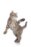 Śmieszna pasiasta figlarka bawić się i skacze na bielu Zdjęcie Stock
