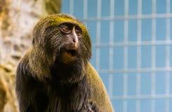 Śmieszna sowa stawiał czoło małpy robi zadziwiającej twarzy głowa hamlyns małpa w zbliżeniu, podatny zwierzęcy specie fotografia stock