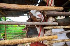 Śmieszna Uśmiechnięta kózka w Beautiul Plenerowej Ogrodowej klatce zdjęcie royalty free