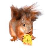 Śmieszna wiewiórka i kukurudza Zdjęcia Stock