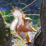 Śmieszna wiewiórka na drzewie Fotografia Royalty Free