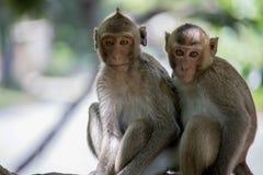 śmieszne małpy Obrazy Royalty Free