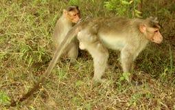 Śmieszne małpy na trawy polu obraz stock