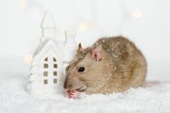 Śmieszne twarz szczura łasowania fundy przy Bożenarodzeniową scandinavian domu puszką Obraz Stock