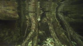 Śmieszne wydry pływają i bawić się z skałami w słodkowodnym akwarium zapasu materiału filmowego wideo zbiory