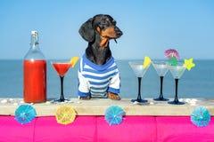 Śmiesznego chłodno jamnika psi pije koktajle przy barem w, wyrzucać na brzeg świetlicowego przyjęcia z widokiem na ocean fotografia stock