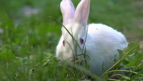 Śmiesznego dziecka biały królik je zielonej trawy zbiory wideo