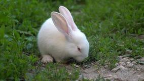 Śmiesznego dziecka biały królik je zielonej trawy zdjęcie wideo