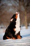 Śmiesznej ampuły psi wyć i szczekać obrazy royalty free