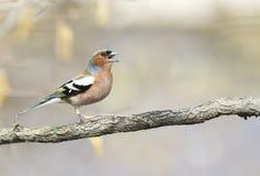 Śmiesznej ptasiej zięby skaczący śpiew piosenka w wiosna parku zdjęcia stock