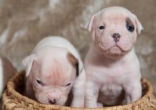 Śmieszni Amerykańscy buldogów szczeniaki Zdjęcie Royalty Free