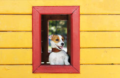 Śmieszni bielu psa spojrzenia z okno kolor żółty zabawki dom Obrazy Stock