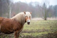Śmieszni brown końscy śmiechy obraz royalty free