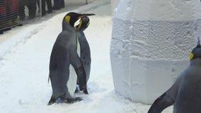Śmieszni królewscy pingwiny komunikują w śniegu zapasu materiału filmowego wideo zdjęcie wideo
