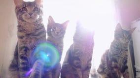 Śmieszni Maine coon koty ruszają się ich głowy powracającą synklinę słońce w slowmotion 1920x1080 zdjęcie wideo