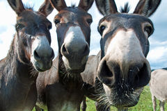 Śmieszni muły Obrazy Royalty Free