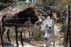 Śmieszni osły za odprasowywają ogrodzenie w gospodarstwie rolnym fotografia royalty free