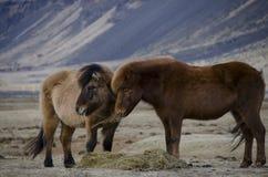 Śmieszni pluszowi Islandzcy konie na gospodarstwie rolnym w górach Iceland łasowanie przypalają żółtej trawy fotografia stock