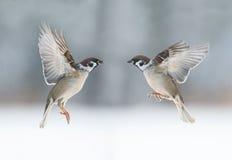 Śmieszni ptaków wróble latają w kierunku each inny, skrzydła rozprzestrzeniający Obrazy Royalty Free