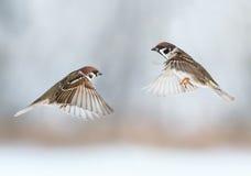 Śmieszni ptaków wróble latają w kierunku each inny, skrzydła rozprzestrzeniający Obraz Royalty Free