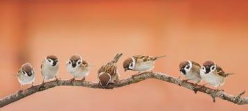 Śmieszni ptaków wróble siedzi na gałąź na panoramicznym obrazku obraz stock