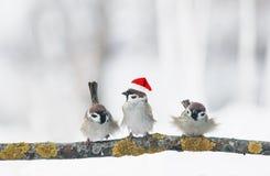 Śmieszni ptaków wróble w Bożenarodzeniowym wintergarden obsiadaniu na staniku obrazy stock