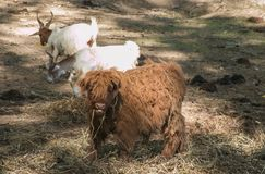 Śmieszni zwierzęta: dziecko Górska krowa w Szkocja Obraz Stock