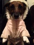 Śmieszny śliczny psi jest ubranym zimy kurtki odzieżowy futerko obraz royalty free