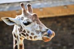 Śmieszny żyrafy zrywania nos z swój jęzorem Zdjęcia Stock