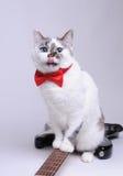 Śmieszny błękitnooki kot z czerwonym łęku krawatem liżącym i siedzi na gitarze elektrycznej zdjęcia royalty free