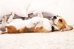 Śmieszny beagle w domu Psi kłamstwo na dywanie na swój plecy fotografia stock