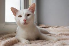 Śmieszny biały kot z zielonymi oczami kłama na różowy powszechnym blisko okno Obraz Royalty Free