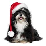 Śmieszny Bożenarodzeniowy Havanese pies z Santa kapeluszem i białą brodą Zdjęcie Royalty Free
