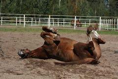 Śmieszny brown koński kołysanie się na ziemi Zdjęcie Royalty Free