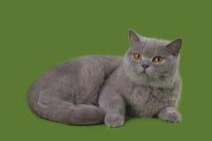 Śmieszny Brytania kot w studiu odizolowywającym Zdjęcia Stock