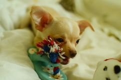 Śmieszny chihuahua bawić się z zabawką obraz stock