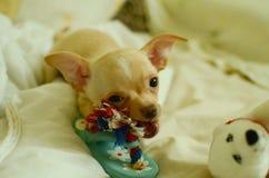 Śmieszny chihuahua bawić się z zabawką fotografia royalty free