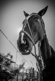 Śmieszny czarny i biały koń Obraz Stock