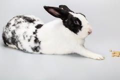 Śmieszny Czarny i biały królik z niebieskimi oczami Zdjęcie Royalty Free