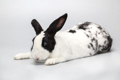 Śmieszny Czarny i biały królik z niebieskimi oczami Fotografia Royalty Free