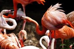 Śmieszny czerwony flamingów dyskutować Obraz Stock