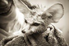 Śmieszny disheveled szczeniaka fenka lis z jego uśmiechniętym właścicielem na tle Obraz Royalty Free