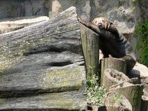 Śmieszny dosypianie niedźwiedź Zdjęcia Royalty Free